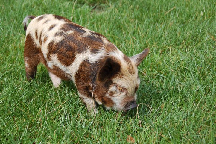 cochon kune kune wikipedia